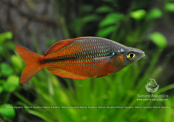 rainbow fish bangladesh